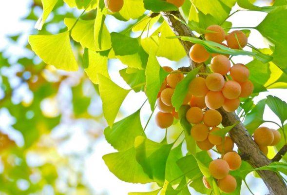 Tổng hợp hoạt chất bạch quả để sản xuất dược phẩm và thuốc bảo vệ thực vật